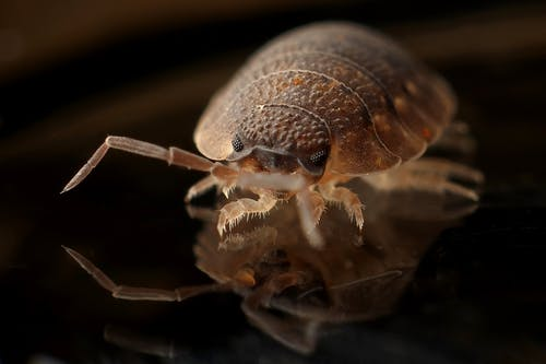 armadillo-worm-bug-insect